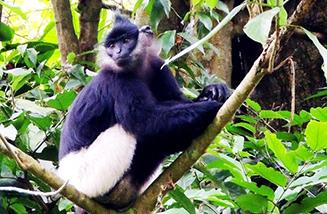 Cuc_Phuong_National_Park_Langur