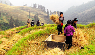 Harvesting_rice_Sapa