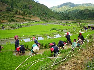 Planting_rice_in_Sapa