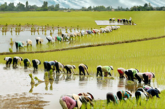 Rice_planting_Ninh_Binh