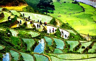 Sapa_rice_planting